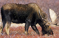 Bull moose (Alces alces).  Wyoming.  November.