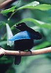 Superb bird of Paradise ( Lophorina superba) in the rain forest of Papwa new guinea