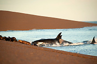orca or killer whale, Orcinus orca, attacking South American sea lions, Otaria flavescens, at Peninsula Valdes, Patagonia, Argentina, South Atantic