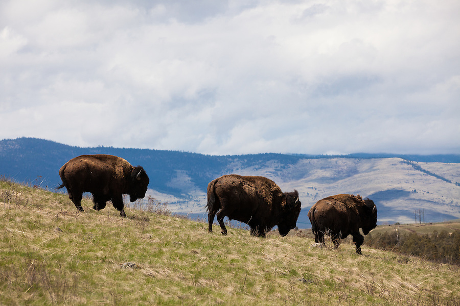 Three bison gallop down a grassy hillside in the National Bison Range in Montana.
