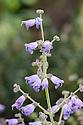 Salvia hians, mid June. Originally from the Himalayan mountains of Kashmir, Pakistan, and Bhutan.