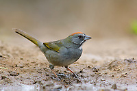 Adult Green-tailed Towhee (Pipilo chlorurus). Starr County, Texas. March.