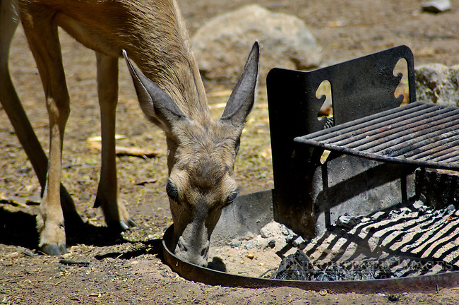 Female Doe Mule Deer Odocoileus hemionus, foraging for food in fire pit, Dorst Creek campground, Sequoia National Park, California