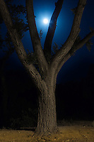 A tree photographed late at night appears to embrace the rising moon.