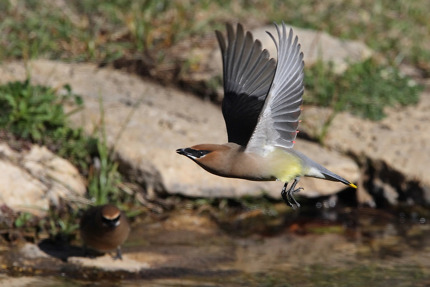 Cedar Waxwing flying over another after a drink. The birds consume capacious amounts of water each day. A neccessity with the large amount of wild berries they eat..