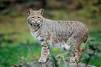 Bobcat (Lynx rufus), Pacific Northwest, early spring.