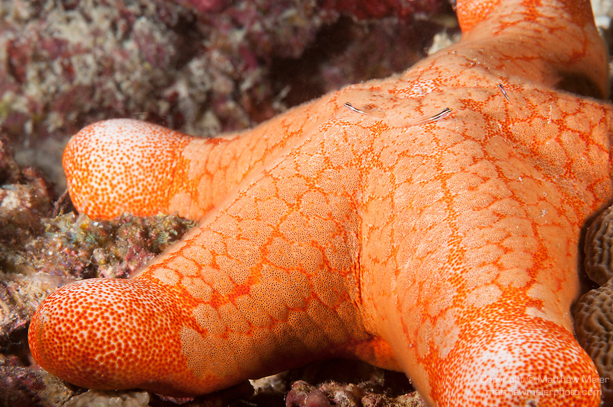 Maanagala Giri, Huvadhoo Atoll, Maldives; three small Gobies resting on a red Cushion Star (Choriaster granulatus) which is sitting on the coral reef