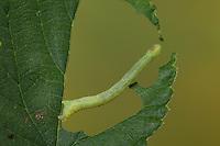 Hopfen-Blütenspanner, Raupe frisst an Blatt vom Hopfen, Eupithecia assimilata, currant pug, caterpillar, l'Eupithécie du groseillier, du houblon, Spanner, Geometridae, looper, loopers, geometer moths, geometer moth, géométridés