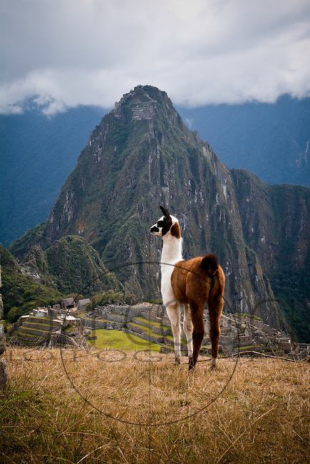 A baby alpaca stand guard over Machu Picchu, Peru