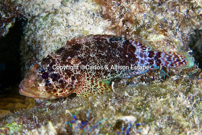 Scorpaenodes caribbaeus, Reef scorpionfish, Bonaire