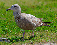 First summer herring gull