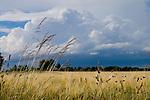 Europa, DEU, Deutschland, Nordrhein Westfalen, NRW, Rheinland, Niederrhein, Moers-Schwafheim, Agrarlandschaft, Getreide, Feld, Anbau, Himmel, Wolkenstimmung, Kategorien und Themen, Natur, Umwelt, Landschaft, Jahreszeiten, Stimmungen, Landschaftsfotografie, Landschaften, Landschaftsphoto, Landschaftsphotographie, Wetter, Himmel, Wolken, Wolkenkunde, Wetterbeobachtung, Wetterelemente, Wetterlage, Wetterkunde, Witterung, Witterungsbedingungen, Wettererscheinungen, Meteorologie, Bauernregeln, Wettervorhersage, Wolkenfotografie, Wetterphaenomene, Wolkenklassifikation, Wolkenbilder, Wolkenfoto....[Fuer die Nutzung gelten die jeweils gueltigen Allgemeinen Liefer-und Geschaeftsbedingungen. Nutzung nur gegen Verwendungsmeldung und Nachweis. Download der AGB unter http://www.image-box.com oder werden auf Anfrage zugesendet. Freigabe ist vorher erforderlich. Jede Nutzung des Fotos ist honorarpflichtig gemaess derzeit gueltiger MFM Liste - Kontakt, Uwe Schmid-Fotografie, Duisburg, Tel. (+49).2065.677997, ..archiv@image-box.com, www.image-box.com]