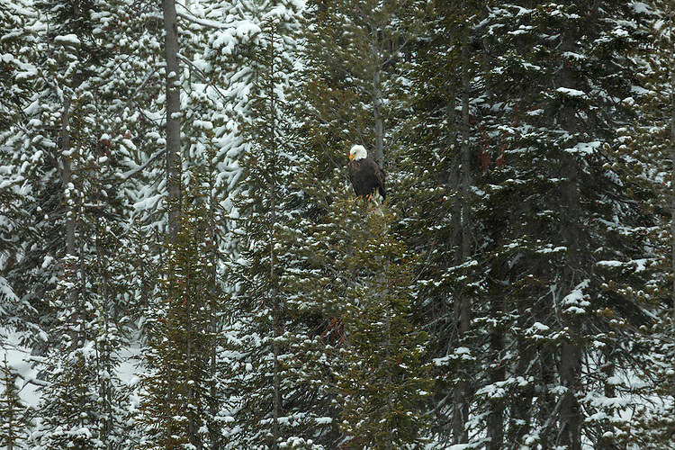A bald eagle keeps a watchful eye over the trout filled stream below