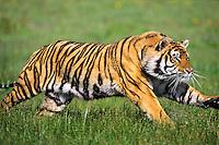 Bengal tiger (Panthera tigris) running