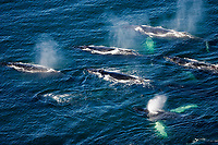 aerial view of humpback whale, Megaptera novaeangliae, migrating, feeding pod of whales, spouting, Whitestone Harbor, Alexander Archipelago, Southeast Alaska, Alaska, USA, Inside Passage, Pacific Ocean