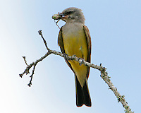 Adult western kingbird with grasshopper
