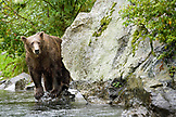 USA, Alaska, grizzly bear standing on a rock looking for salmon, Wolverine Cove, Redoubt Bay