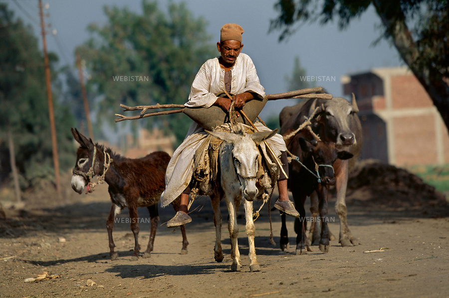 ..Egypt. Nile Delta. 1996. An Egyptian farmer goes to the fields with his ox and his mules...Egypte. Delta du Nil. 1996. Un paysan egyptien part aux champs avec son boeuf et ses mulets.
