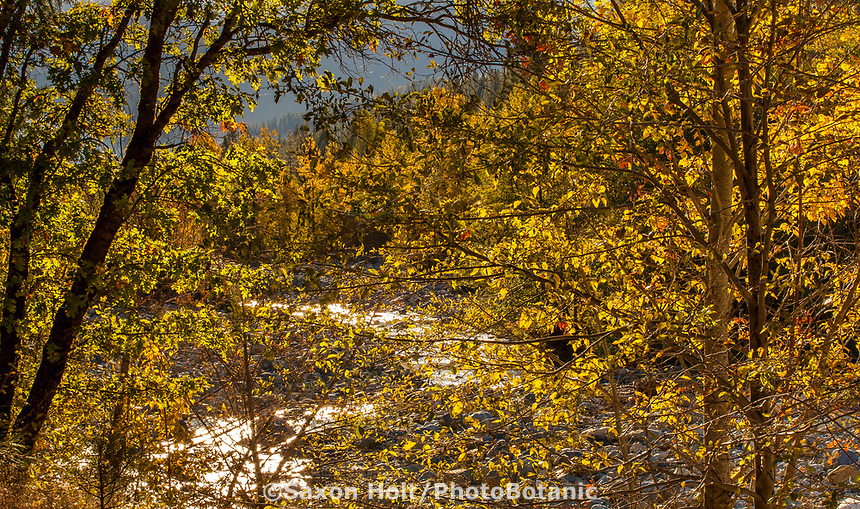 Populus trichocarpa, Black Cottonwood, or California Poplar trees by Castle Creek; Autumn in California; Castle Crags State Park, Shasta-Trinity National Forest
