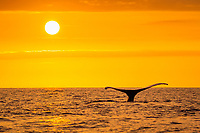 humpback whale, Megaptera novaeangliae, fluke, at sunset, Maui, Hawaii, USA, Pacific Ocean