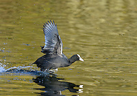 Coot - Fulica atra - Adult in flight. L 36-38cm. Robust waterbird, often found with Moorhen. Has lobed toes. Feeds by upending, making shallow dives or grazing waterside vegetation. Gregarious outside breeding season. Sexes are similar. Adult has blackish plumage, darkest on head and neck. Note white bill and frontal shield on head, and beady red eye. Legs are pale yellowish. In flight, shows white trailing edge on otherwise dark, rounded wings. Juvenile has dark greyish brown upperparts and white on throat and front of neck. Voice Utters a loud kwoot call. Status Common resident, found on range of freshwater wetland habitats; numbers boosted in winter by influx of migrants.