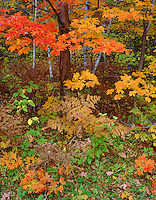 Hiawatha National Forest, MI: Detail view of ferns & maple & birch forest in fall color