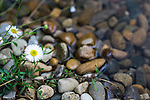 Daisy by the creek at Mt Tomah Botanical Gardens, Blue Mountains, Sydney, NSW, Australia