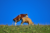 Two cows having some harmless fun on a hillside crest in an Alpine meadow