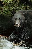 Black Bear (Ursus americanus) resting beside salmon stream, Pacific Northwest.