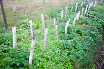 Newly planted hedgerow trees growing in protective tubes, Suffolk, England