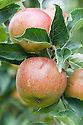 Apple 'Christmas Pearmain', mid September. An English dessert apple dating back the end of the 19th century. Originally from Kent.