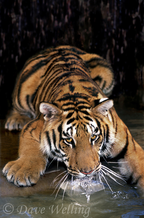 683999256 a bengal tiger cub panthera tigris a wildlife rescue animal drinks from a small pond in its enclosure at a wildlife rescue facillity - species is highly endangered in its home range on the indian subcontinent