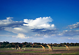 BOTSWANA, Africa, a tower of giraffes wandering through Chobe National Park and Game Reserve