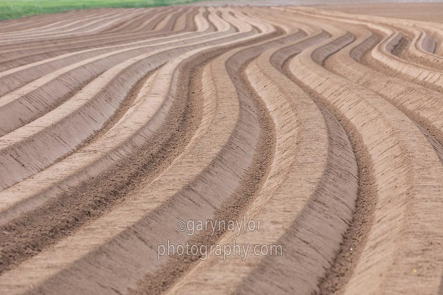 Potato ridges, alluvial silt - Lincolnshire, April