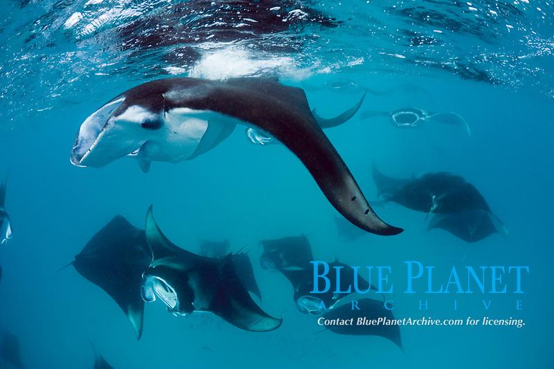 reef manta rays, Manta alfredi, feeding on plankton, Hanifaru Bay, Baa Atoll, Maldives, Indian Ocean