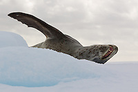 Leopard Seal on an iceberg in Antarctica.