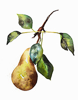 Watercolour painting of ripe pear on twig