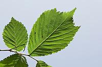 Berg-Ulme, Bergulme, Ulme, Blatt, Blätter vor blauem Himmel, Ulmus glabra, Scotch Elm, Wych Elm