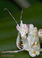"0307-07pp  Spiny Flower Mantis (#9 Mantis) - Pseudocreobotra wahlbergii ""Female"" - © David Kuhn/Dwight Kuhn Photography"