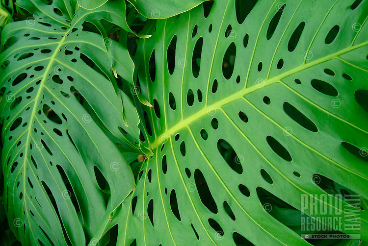 A close-up of vibrant monstera leaves, Hawai'i.