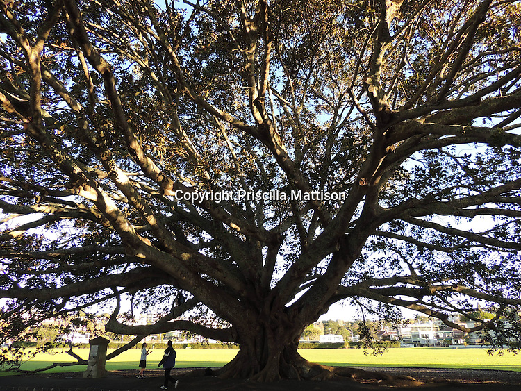 Auckland, New Zealand - September 18, 2012:  A Moreton Bay Fig tree stands at the edge of Vellenoweth Green in Saint Heliers.
