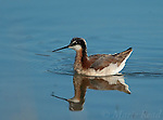 Wilson's Phalarope () swimming, Mono Lake, California, USA