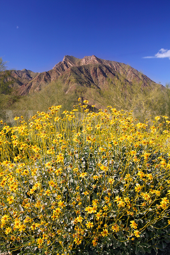 San Ysidro Mountain and Brittlebush (Encelia farinosa) from near the Borrego Springs Visitor Center, Anza-Borrego Desert State Park, California