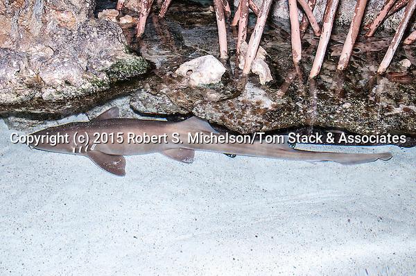 Epaulette shark laying under mangrove roots.