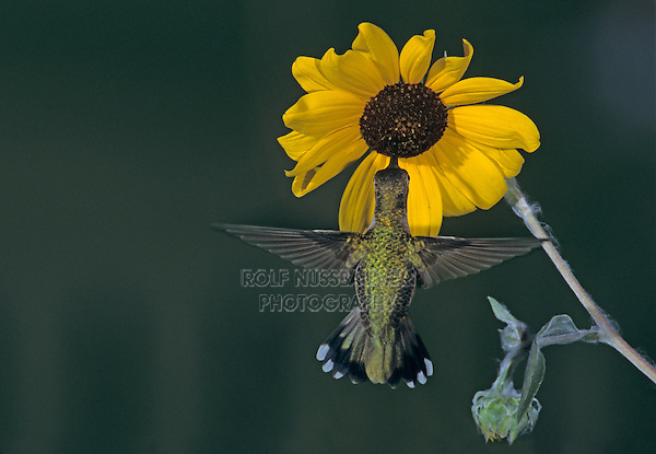 Ruby-throated Hummingbird, Archilochus colubris,female feeding on Sunflower, Rockport, Texas, USA