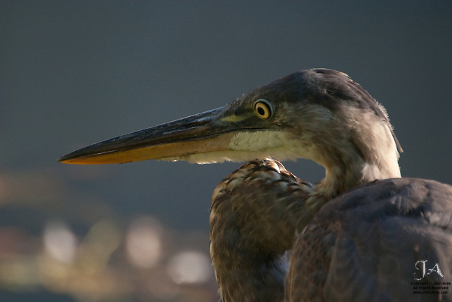 Great Blue Heron hunting in Martlings Pond, Staten Island, NY, backlighting