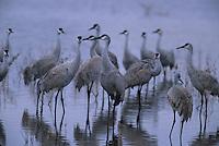 Sandhill Cranes (Grus americana) standing in a marsh.