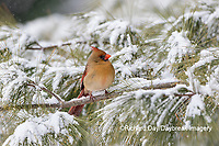 01530-22903 Northern Cardinal (Cardinalis cardinalis) female in pine tree in winter snow Marion Co. IL