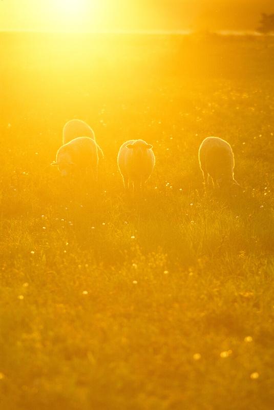 F00025.tif   Sheep in pasture at sunset. Near Monroe, Oregon