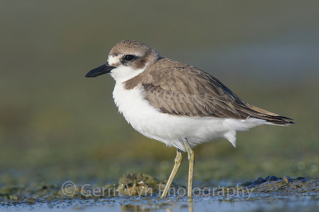 Greater Sand Plover (Charadrius leschenaultii) in winter plumage foraging on coastal tidal flats. Rakhine State, Myanmar. January.